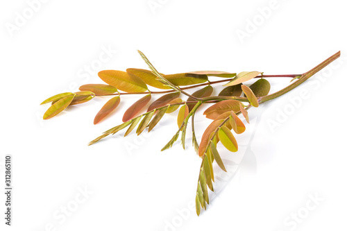 Stampa su Tela Top young branch of Thai Copper Pod or Senna siamea tree isolated on white