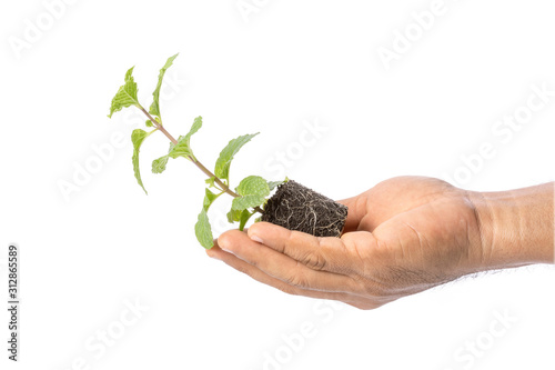 Fototapeta Close up green fresh peppermint with soil isolated on white obraz