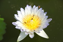 Beautiful White Water Lily Flower
