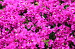canvas print picture - Close up Pink Bougainvillea flower
