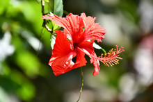 Red Flower In Garden, Photo As A Background ,taken In Arenal Volcano Lake Park In Costa Rica Central America