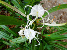 Beach Spider Lily Flower Or Hy...