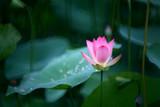 An outstanding pink lotus is preparing to bloom