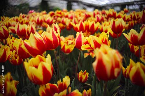 Folia na okno łazienkowe Piękni kwitnący żółto czerwone tulipany w ogrodzie