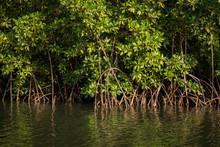 Gambia Mangroves. Green Mangro...