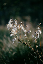 Delicate Autumn Dry Plant With...