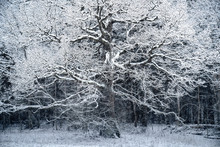 Huge Oak Tree Covered With Snow