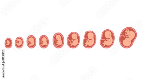 Fototapeta Fetal growth