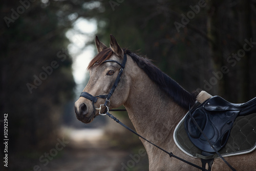 Fotografija portrait of beautiful stunning show jumping gelding horse with bridle and browba