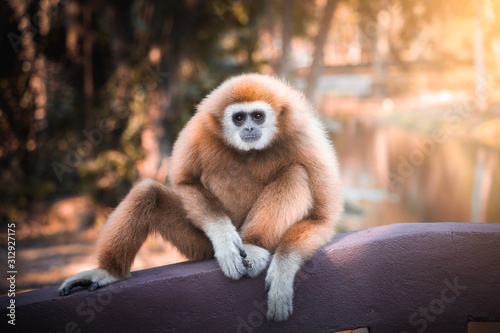 Cuadros en Lienzo White-handed gibbon sitting on the bridge.
