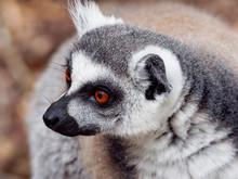 Ring Tailed Lemur Portrait. Lo...