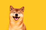 Fototapeta Dogs - Happy shiba inu dog on yellow. Red-haired Japanese dog smile portrait