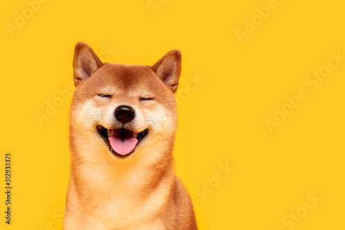 Obraz Happy shiba inu dog on yellow. Red-haired Japanese dog smile portrait - fototapety do salonu