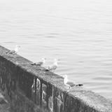 Kwadratowa czarno-biała minimalistyczna fotografia mew - 312943703