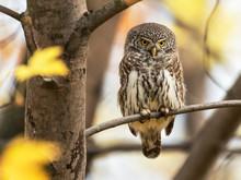 The Eurasian Pygmy Owl (Glauci...