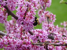 Closeup Of Redbud Blossoms In Full Bloom With Bee