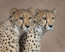 Pair Of Cheetahs Posing Close Together Against Clean Brown Background