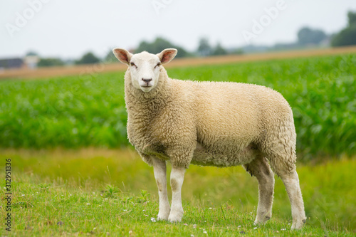 Canvas-taulu Isolated dike sheep is looking at you from its meadow on farm background