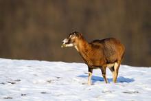 Mouflon, Ovis Orientalis, Ewe ...