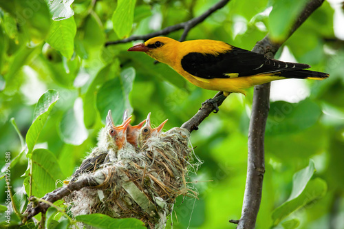 Obraz na plátně Eurasian golden oriole, orilus oriolus, with yellow and black plumage breeding little hatchlings sitting in a nest close together