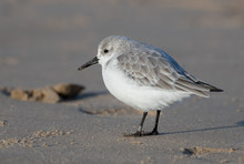 Sanderling On The Sand