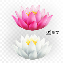 3d Realistic Vector Pink And White Lotus Flowers