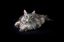 Big Beautiful Maine Coon Cat Against Black Cloth Background, Lying Down Looking Looking Up With Paws Crossed.