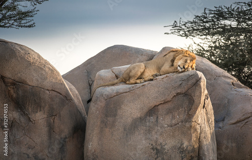male lion sleeping on rocks in nature Wallpaper Mural