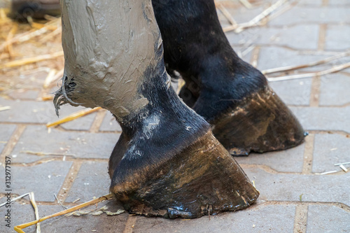 Photo Closeup of a horse's hind leg with gray alumina clay paste applied as medical treatment against tendinitis (tendon inflammation) after injury