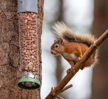 Red Squirrel On A Peanut Bird Feeder