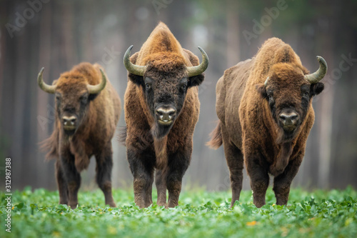 Carta da parati European bison - Bison bonasus in the Knyszyn Forest (Poland)