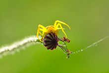 Macro Of Yellow Crab Spider (M...