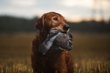Close Up Of Hunting Dog Carryi...