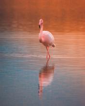 Fenicottero Rosa Che Cammina In Laguna Al Tramonto