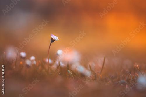 fiore di margherita in prato fiorito, vista laterale con sfondo sfocato e colora Tablou Canvas
