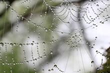 Dews On Spider Web