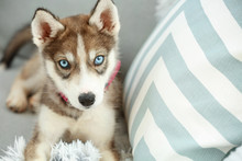 Cute Husky Puppy On Sofa At Home