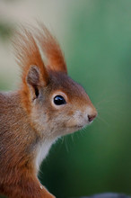 Portrait Of A Squirrel Against...