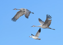 Two Sandhill Cranes And One Sn...