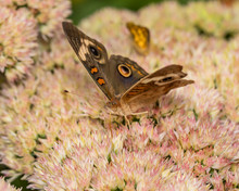 Closeup View Of Common Buckeye...