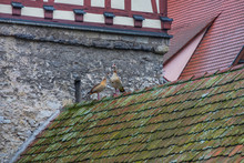 Two Egyptian Geese Standing On Moss Covered Tile Roof In Germany