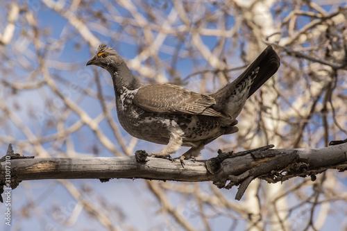 Fotografie, Tablou Dusky Grouse in Idaho
