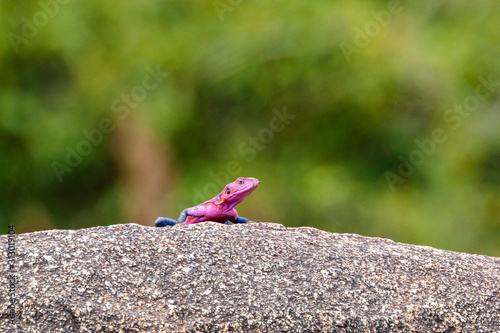 Closeup shot of a red-headed rock agama on the rock Canvas Print