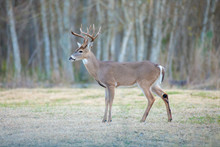 White-tailed Deer In A Texas P...