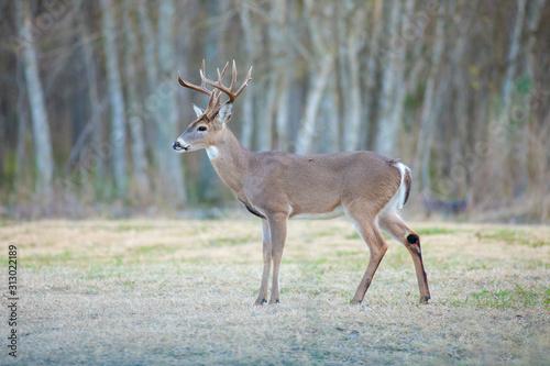 Obraz na plátne White-tailed deer in a Texas park in San Antonio