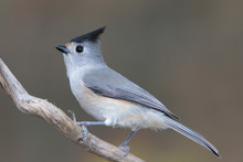 Black-crested Titmouse Perched...
