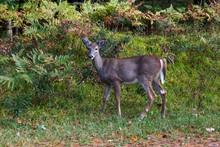 Doe White Tail Deer In Michigan