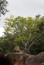 Lion Sitting On Rock