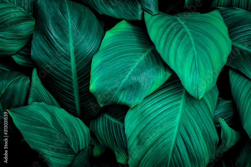 leaves of Spathiphyllum cannifolium, abstract green texture, nature background, tropical leaf #313031539