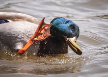 Mallard Cleaning Itself